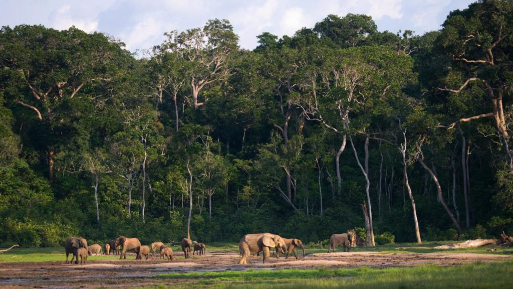 Group of forest elephants in the forest edge.