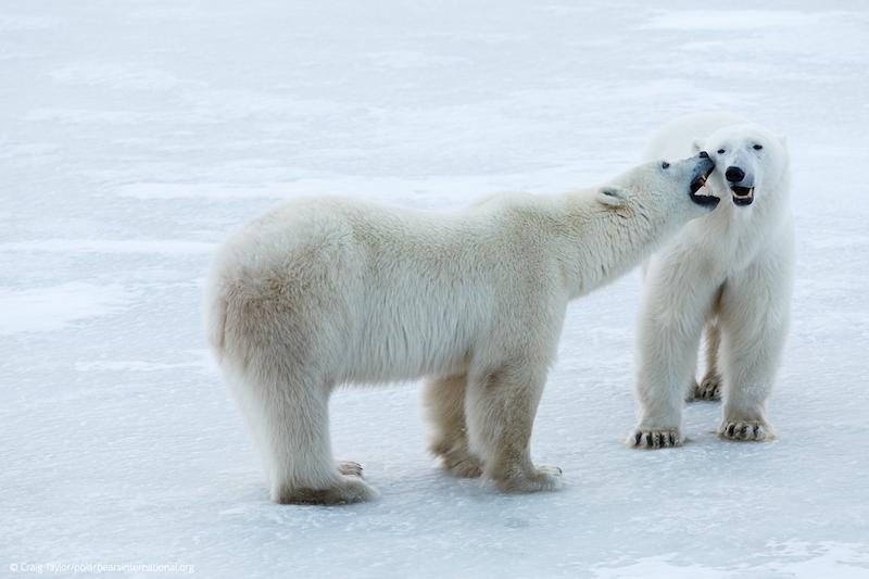 Deux ours polaires sur la banquise