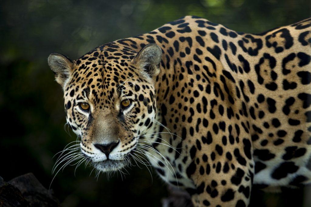 Un jaguar, troisième plus grand félin au monde