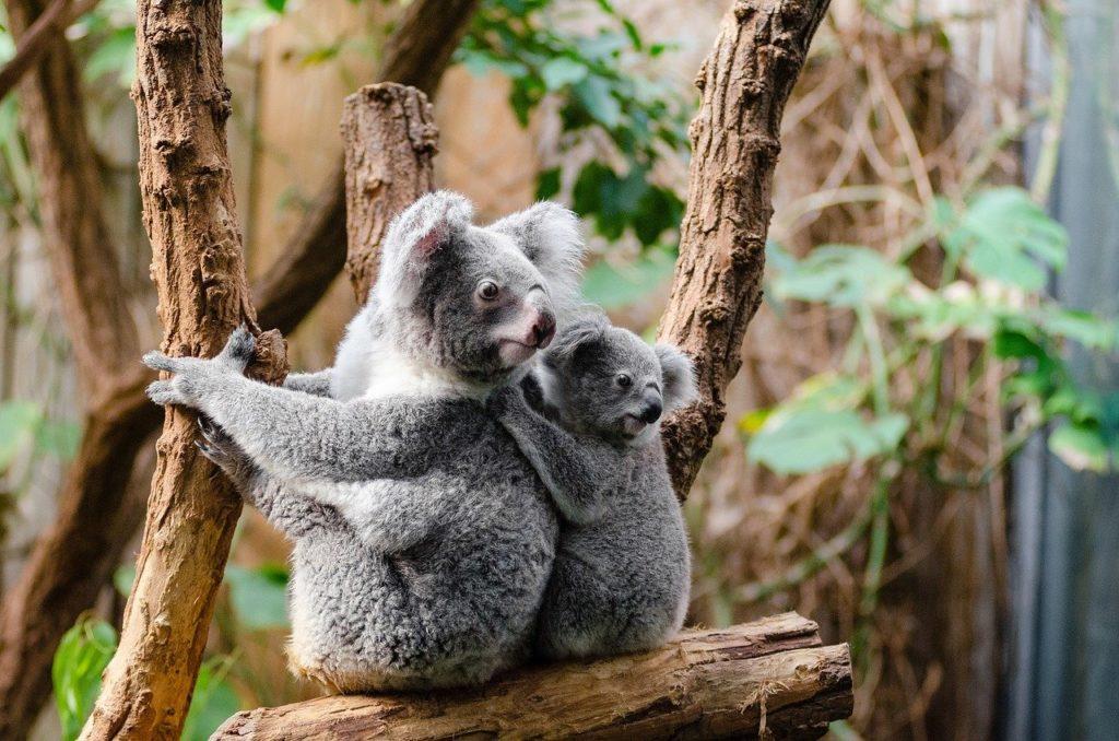 Une koala et son petit dans leur enclot